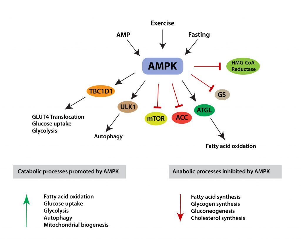 Effects of AMPK Activation