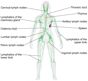 The lymph system is found under the skin throughout the entire body.